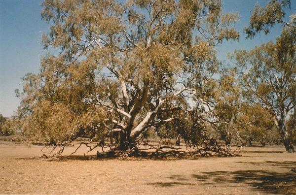 We camped over night on Lake Short. Photograph of large Swamp Box (Eucalyptus largiflorens), 1967
