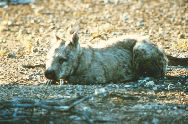 Starving wombats sun themselves to warm their bodies to try to stay alive. They are nocturnal animals. Portee, 1967