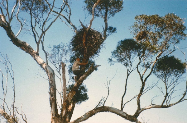 Mark inspecting a Wedge-tailed Eagle's nest, Portee, 1967