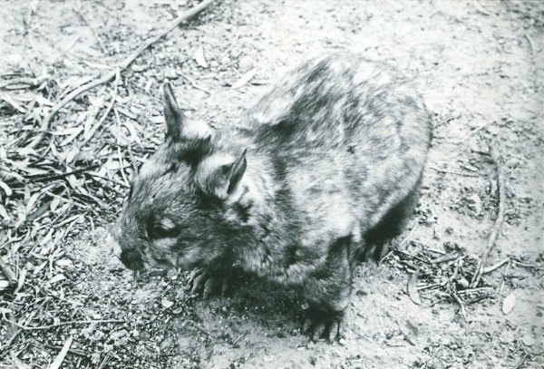 Wombat on Portee Station during drought in 1967.
