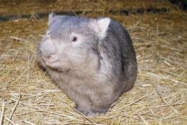 common-wombat
