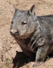 wombat-12